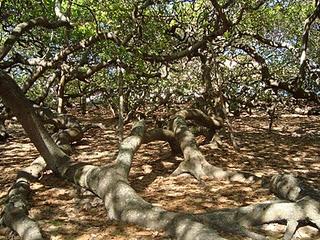93 ετών κάτω από τη σκιά του δέντρου